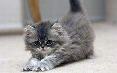 Cute Kitten - kittens Wallpaper