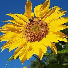 Giant Mammoth Sunflower Seeds