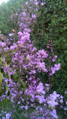Dobbelt violfrøstjerne