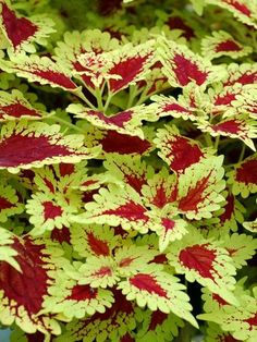 Easy To Grow Houseplants Clean the Air Coleus Flying Carpet 'Spine chiller' Terranova Nurseries How To Prune A Leggy Coleus Planted Other Care Tips: Garden Shrubs, Shade Garden, Coleus Care, Outdoor Plants, Patio Plants, Plants Indoor, Indoor Garden, Fast Growing Plants, Plant Diseases