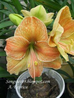 Flora Flowers, Bulb Flowers, Pretty Flowers, Herb Garden Kit, Rainbow Garden, Amarillis, Hoya Plants, Types Of Herbs, Herb Seeds