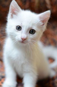 white cat :)