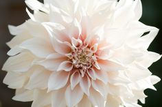 The beautiful, large heads on dahlias are available in a range of wonderful colors like peonies. But the flower's peony-flowering variety bear the closet resemblance to their short-lived counterpart.   - ELLEDecor.com