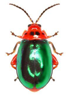 Kuschelina gibbitarsa (Say, 1824) F. Chrysomelidae SF. Galerucinae