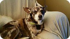 Hesperia, CA - Cattle Dog/Chihuahua Mix. Meet Walter, a dog for adoption. http://www.adoptapet.com/pet/13312269-hesperia-california-cattle-dog-mix