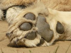 African Lion Paw by Christopher D. Baker, via Flickr