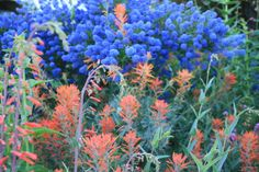 Wildflowers, indian paintbrush and ceanothus concha | california natives