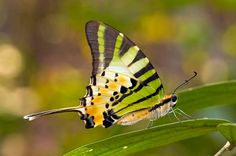 Graphium antiphates, Five-bar Swordtail by aeschylus18917, via Flickr