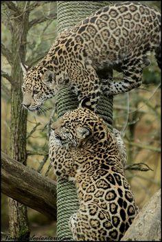 Clouded cheetahs