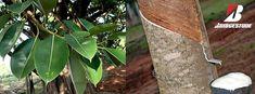 Bridgestone com técnica pioneira para o diagnóstico de doenças nas Árvores-da-borracha Seringueiras