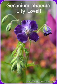 Geranium phaeum  Lily Lovell  deepest purple flower for shade FREE P&P