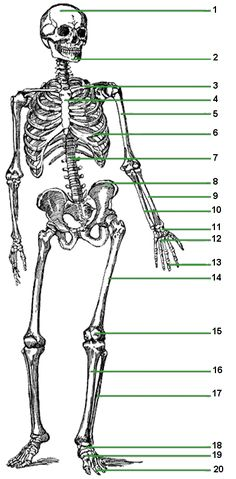 www.lessontutor.com introduces The Skeletal System