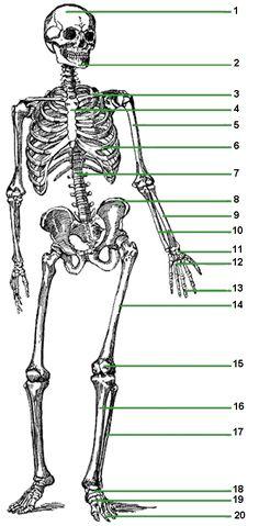 Human Skeletal System | Skeletal system and Life science