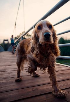 Dogs / Cocker Spaniel / at the park, after going for a swim ;-) / extreme cuteness