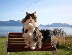 Norsk Skogkatt aka Norwegian Forest Cat