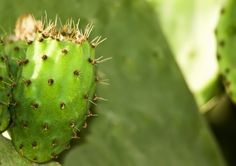 Glochid Spines: Learn About Plants With Glochids -  Cacti are amazing plants with unique adaptations that allow them to thrive in inhospitable terrain. One of these adaptations is spines such as glochids. Learn more about plants with glochids in this article and how to get rid of them.