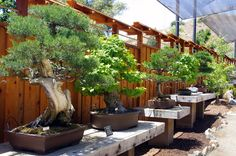 Bonsai Garden exhibit in the San Diego Zoo Safari Park. Japanese Garden Design, Chinese Garden, Bonsai Garden, Bonsai Trees, Japan Garden, Garden Stand, Miniature Trees, Plant Pictures, Backyard Landscaping