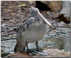 The Pink-backed Pelican (Pelecanus rufescens) is a member of the pelican family of birds. It is a resident breeder in Africa, southern Arabia and apparently extinct in Madagascar in swamps and shallow lakes.