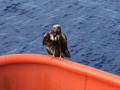 Unexpected visitor near Sudan Bald Eagle, Bird, Animals, Animales, Animaux, Birds, Animal, Animais, Dieren