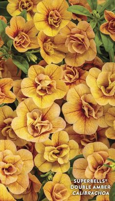 Proven Winners - Superbells® Double Amber - Double Calibrachoa - Calibrachoa hybrid yellow amber plant details, information and resources. Yellow Plants, Yellow Flowers, Colorful Flowers, Spring Flowers, Pink Plant, Beautiful Flowers, Container Flowers, Container Plants, Container Gardening