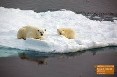 Mother Polar Bear and Cub on Ice Float in Greenland