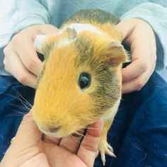 Guinea pigs also require grooming service, and nail trimming is part of the grooming. It is necessary to trim your guinea pig's nails to…