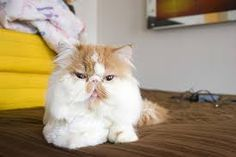 Persian cats are sweet and affectionate cat. Follow me and visit my website for more funny fact about.