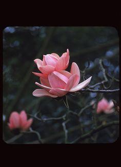 Charles Cushman, Blossoms of Campbell Magnolia, 1960