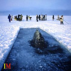 #AdaylikeToday 10/07/1988: An #Inupiaq hunter discovers 3 #GrayWhales trapped under the ice in #Barrow, #Alaska. The situation becomes a multinational effort to free the whales. The youngest whale died during the effort and it is unknown if the remeining 2 whales ultimately survived. #Whales #Free #Animal #AnimalBeauty #Discovery #Whale #infomarketmagazine