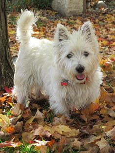Westie Angus in the leaves - Fall 2013 Southern Ontario, Canada