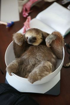 Cuteness Overload - 200 Sloth saved by Monique Pool (10)