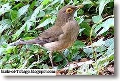 Birds of Tobago is an online guide to the resident and migrant birds that can be seen in Tobago, Trinidad & Tobago, West Indies by Robert Brent Bird Guides, West Indies, Trinidad And Tobago, Caribbean, Birds, Animals, Animales, Animaux, Bird