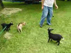 The Excited Baby Goat That Got Into the Coffee Pot [VIDEO] @Elli Dean this is for you from Dad!