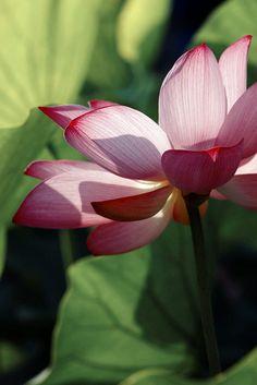 Lotus Flower by Shih-wen Cheng