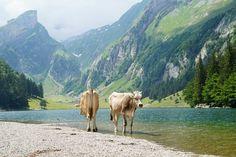 Kuehe am zauberhaften Seealpsee bei Appenzell in der Schweiz The Road, Camping, Roadtrip, Mountains, Nature, Travel, Animals, Europe, Northern Italy