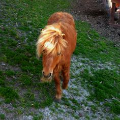 Mini horse with up to date hair trend!