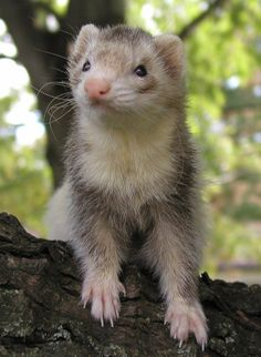 Emmy (Deceased)--She was such a sweetie.  She was our first blind ferret.  She might not have been able to see anything, but her hearing was very good.  She could tell who was in the room and she knew where the other ferrets were at any given time.