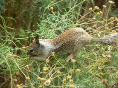 California Ground Squirrel | Spermophilus beecheyi