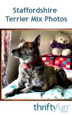 This is a guide about Staffordshire Terrier mix photos. These mixed breed dogs are strong, and very people oriented. It will thrive when made part of a family.