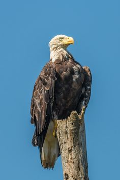 A Bald Eagle sits majestically on a warm summer day in North Western, Ontario, Canada. Eagle Art, The World's Greatest, Summer Days, Bald Eagle, Fine Art America, Creatures, Birds, North Western, Ontario