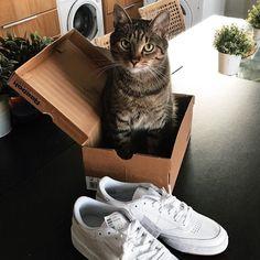 """(@reebokclassicpolska) na Instagramie: """"Instrukcja: 1. Wyjmij Club C z pudełka. 2. Zawołaj kota 3. Zrób zdjęcie - @sukanek zna efekt!…"""" Reebok, Sneakers, Classic, Instagram Posts, Tennis, Derby, Slippers, Sneaker, Classical Music"""