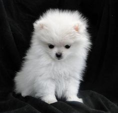 #pomeranians #dogs I want one of these!!!