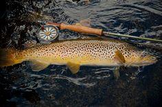 All brown trout come from heaven Trout Fishing Tips, Fishing 101, Pike Fishing, Fly Fishing Rods, Salmon Fishing, Fishing Stuff, Drop Shot Rig, Food Plot, Fishing Photos