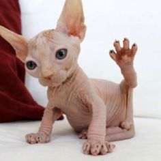 baby sphinx. I would love to have one, and i would name it ET, and it will be my ET and I will hug him and squeeze him and all him ET.