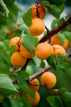 Chinese Apricot - Chinese Apricot is an early-bearing, heavy-producing variety that is recommended for difficult climates prone to late spring frosts. The fruit has good flavor, texture, and quality with yellow Self-fruitful - no pollinizer is needed. Recommended winter chill: 700 hours.