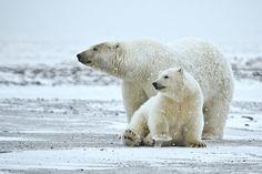 Polar Bear | Das Erbgut zeigt, dass Eisbären schon, beautiful image captured in nature