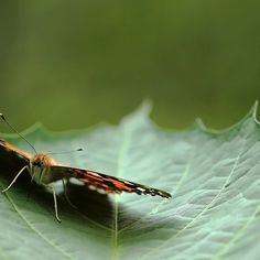 Painted Lady Butterfly - Cradled