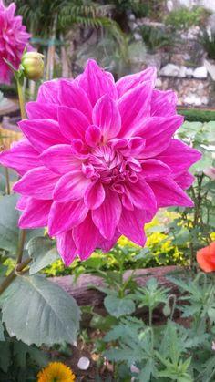 Dailia in my garden.