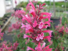 Salvia greggii 'Icing Sugar' - This sun-loving shrubby plant produces its flowers throughout summer and well into autumn. They are a pretty two-tone pink and are held by purple calyces on deep purple stems. Not only do they look great, but they also help attract butterflies to the garden.