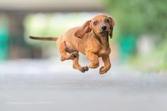 Happy sausagedog puppy by 149227515. @go4fotos